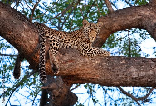 Aluminium Luipaard african leopard in tree