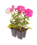 Pack of pink-flowered petunia seedlings ready for transplanting poster