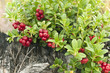 Cowberries, vibrant photo