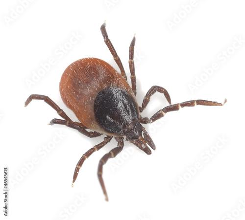 Tick isolated on white background, extreme close-up - 46545613