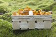Basket with fresh golden chanterelle (Cantharellus cibarius)