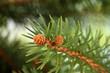 fir tree branch, close up