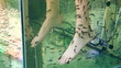 Peeling skin feet of tropical fish in the water