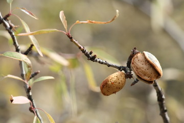 almonds in shell on tree