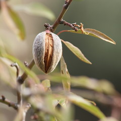 ripe almond in hull and shell