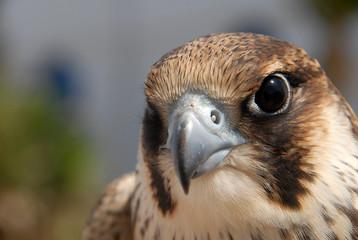 tête de faucon d'El Haouaria 10