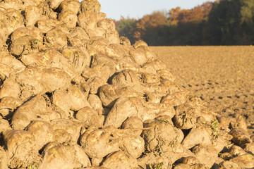Herbst: Ernte Zuckerrüben (Beta vulgaris) / sugar beet