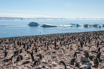 Huge colony of Gentoo penguins