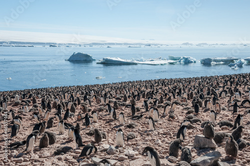 Huge colony of Gentoo penguins