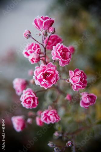 Frosted Rose awake © michaklose