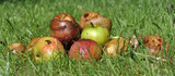 Rotten Windfall Apples