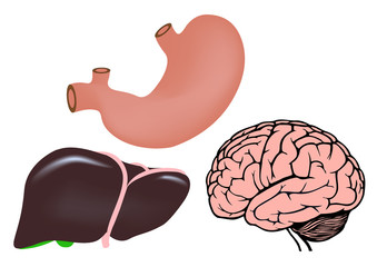 human organs. liver, stomach and brain medicine illistration