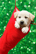 Christmas - cute labrador puppy in Christmas sock