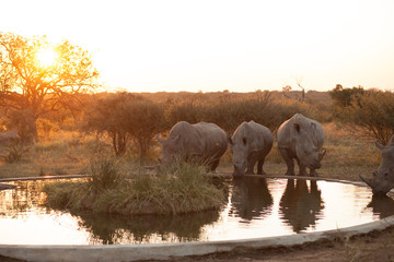 Rhinos at a watering hole