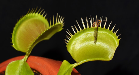 crane fly in jaws of carnivorous plant venus dionaea
