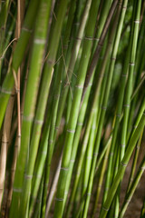 Green bamboo background. Tropical climate