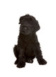 Little Black Russian Terrier Puppy on White Background