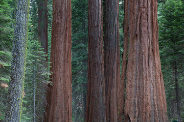 Detail of the big sequoia trees, Sequoia National Park
