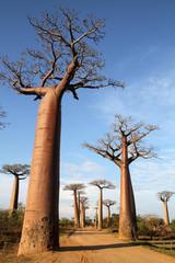 Allée des baobabs de Morondava - Madagascar