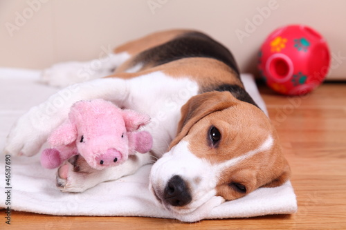 Four month old female Beagle puppy, sleepy
