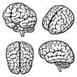 Human Brain - 46589412