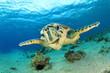 Hawksbill Sea Turtle - 46593208