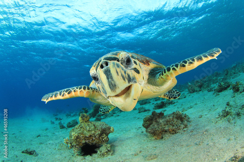 Foto op Canvas Schildpad Hawksbill Sea Turtle