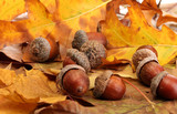 Fototapety brown acorns on autumn leaves, close up