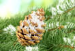 cone on fir tree with snow, close up