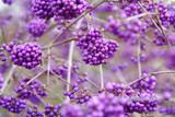Fototapeta krzew - roślina - Roślinne