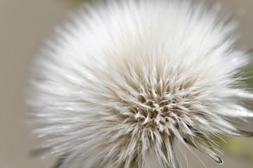Dandelion seed © Dutourdumonde