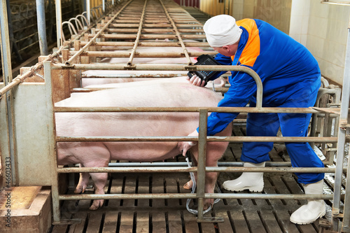 Pig ultrasound diagnosis