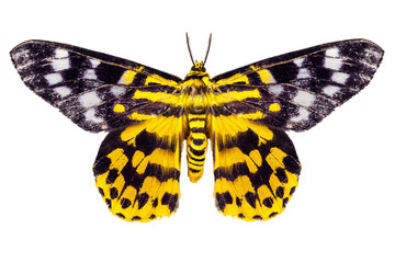 butterfly moth Dysphania subrepleta isolated