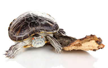 red ear turtle isolated on white