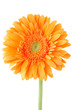 Orange gerbera daisy flower