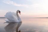 swan - 46613282