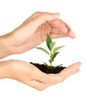 woman's hands holding a plant growing out of the ground,