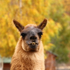 llama over autumn background