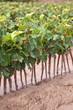 Pépinière de vigne