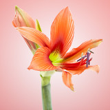 Fototapety beautiful orange exotic lilium flower