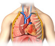Man anatomy thorax cutaway with heart with main blood veins and