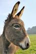 profil d'un joli âne