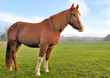 cheval de profil