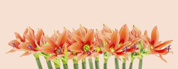 set of beautiful lilium flowers composite