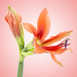 beautiful orange exotic lilium flower