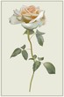 Greeting card with rose. Illustration  roses.