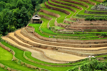 terraced rice field with house , Yen bai, viet nam