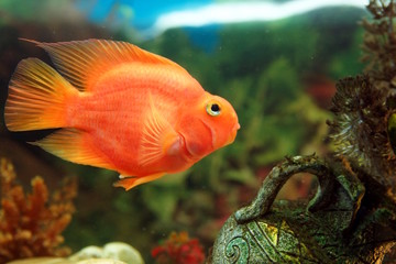 Red parrot fish in the aquarium, cichlids from Lake Malawi