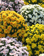 fluffy tufts of yellow and white flowers like chrysanthemums