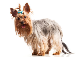 Yorkshire terrier dog looking at camera over white